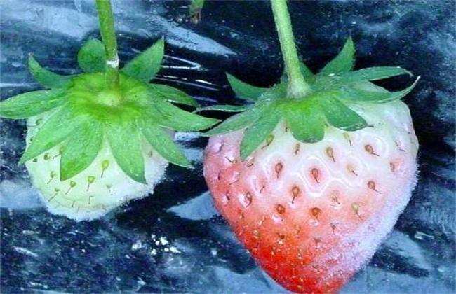 草莓白粉病的防治方法
