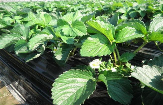 草莓不开花的原因及解决方法