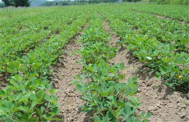 秋花生 高产种植技术