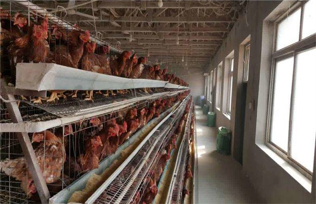 引起鸡应激 环境因素