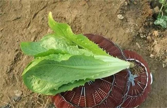 孔雀菜的种植技术