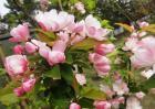 海棠花扦插繁殖方法