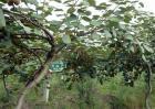 猕猴桃果树怎么分公母