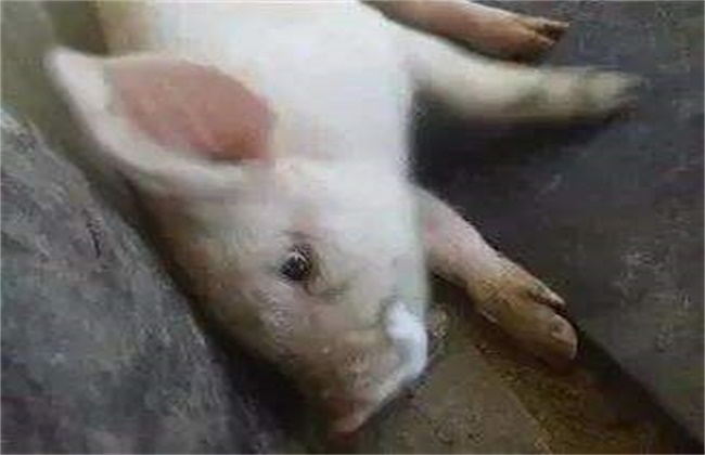 猪疫苗过敏原因及治疗方法