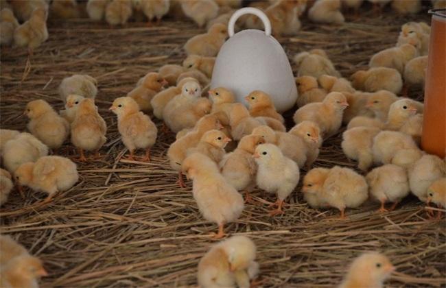 如何提高 肉鸡均匀度