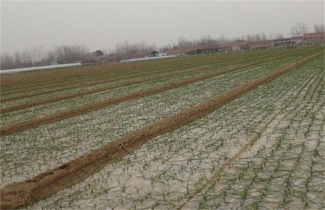 冬季大蒜怎么种植
