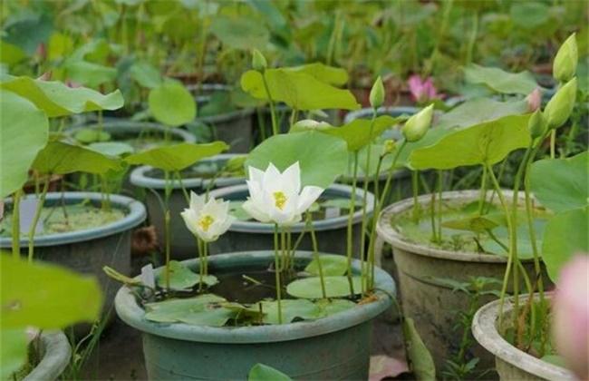 碗莲的养殖方法和注意事项