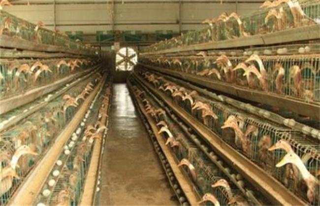 笼养肉鸭的优点及注意事项