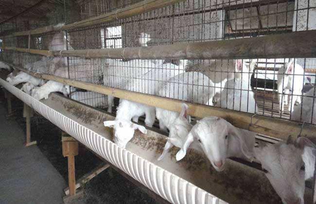养羊增肥 育肥技巧
