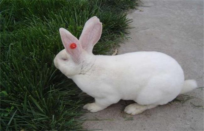 肉兔选种要点
