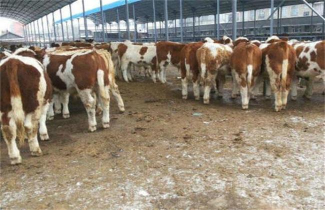 养牛常见的问题