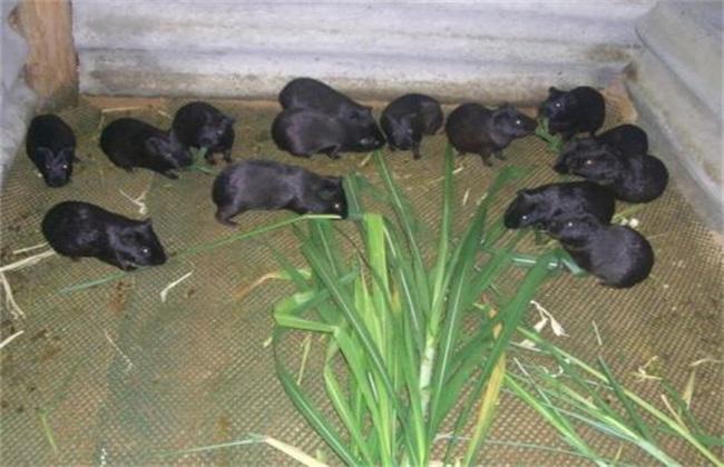 新手养豚鼠要注意什么