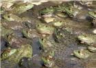 牛蛙养殖注意事项