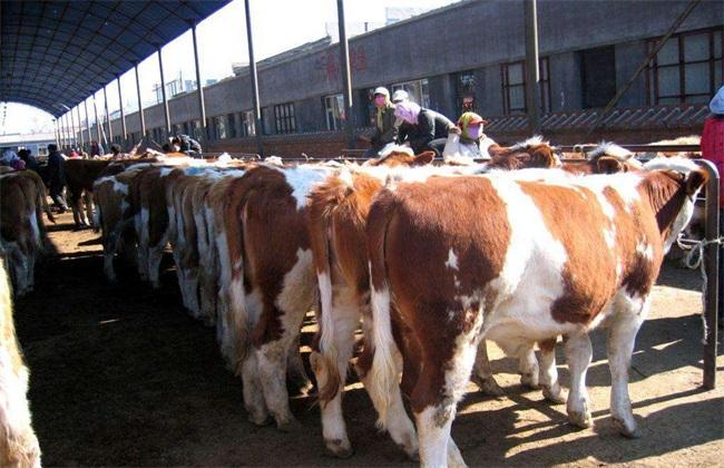 架子牛的育肥技术