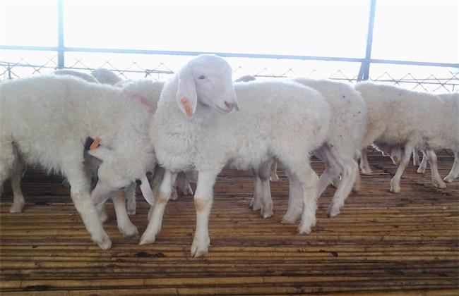 小尾寒羊 养殖技术