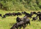 春季养羊放牧注意事项