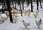 冬季蛋鸡保羽措施
