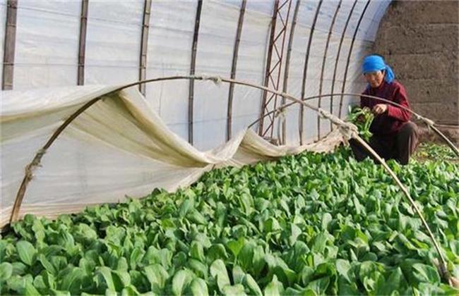 冬季温室蔬菜换茬注意事项