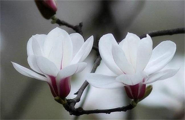 玉兰花的养殖方法和注意事项