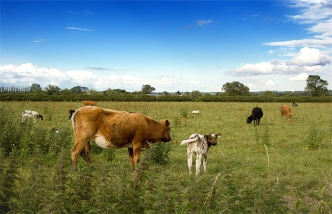 育成牛 放牧饲养技术