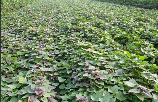 紫薯苗期 管理技术