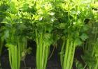 芹菜苗期管理技术