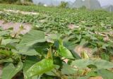 紫薯苗期管理技术