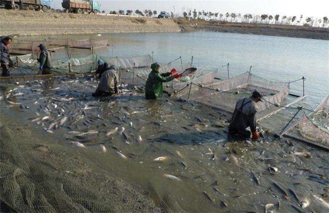 池塘 怎么养鱼 不容易死