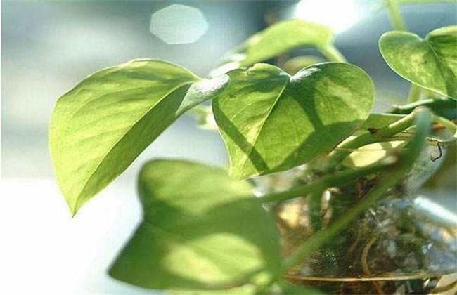 冬天绿萝叶子发黄原因及解决方法