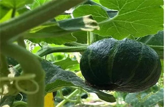 板栗南瓜的栽培技术