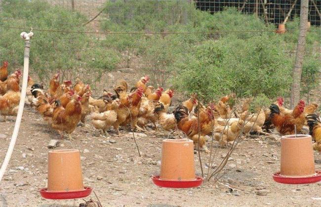 生态养鸡 有什么优势