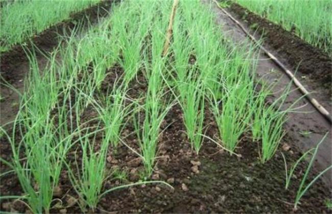 地膜洋葱定植技术要点