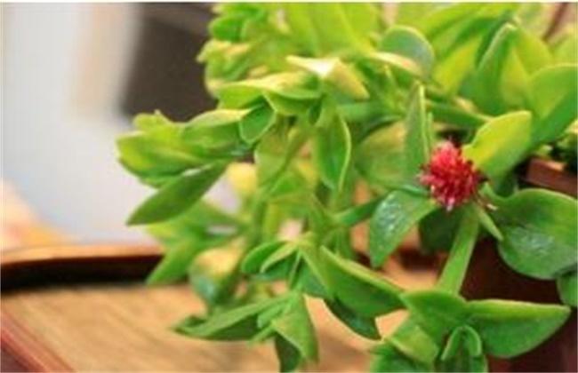 牡丹吊兰只长叶不开花原因