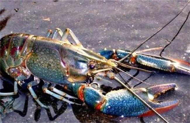 养虾如何调水
