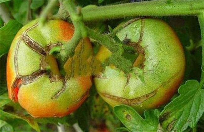 西红柿裂果 什么原因