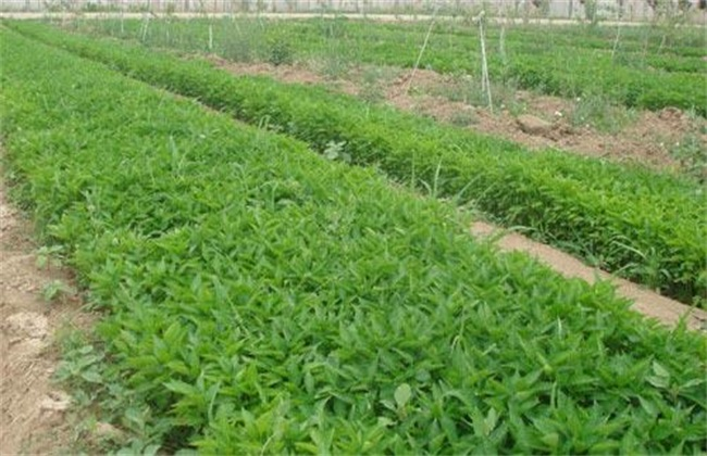 种植辣椒 常见问题