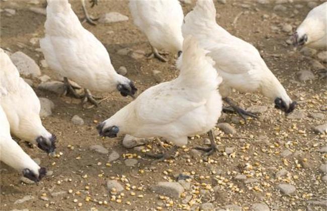 乌骨鸡养殖 注意事项