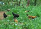 生态养鸡有什么优势