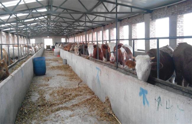 怎样养牛 才能致富