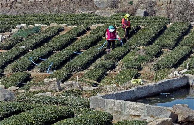 茶树采摘后怎么管理