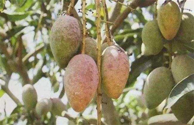 芒果露水斑的防治措施