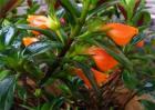 金鱼花的养殖方法和注意事项