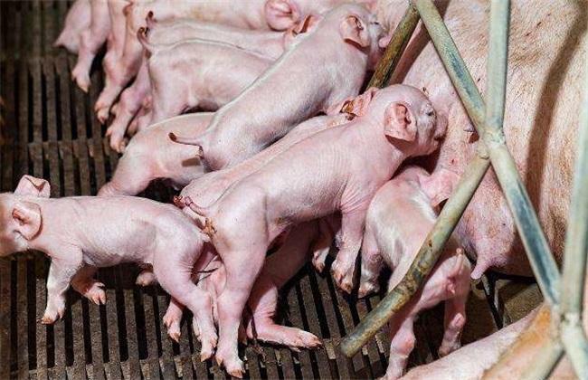 新生仔猪护理 注意什么