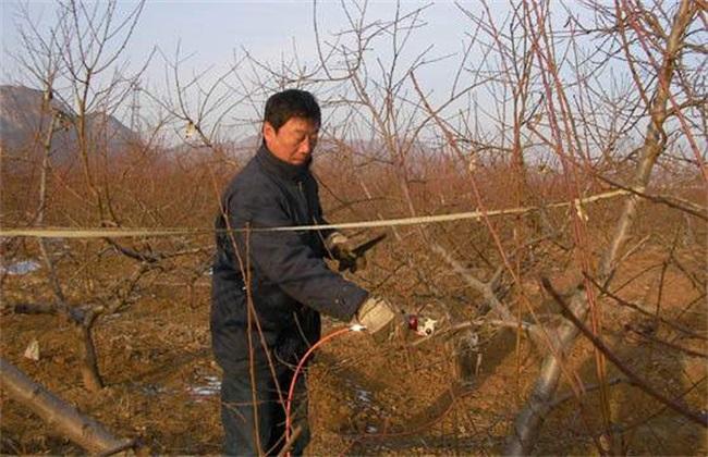 桃树冬剪 什么时间最好