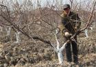 桃树冬剪什么时间最好