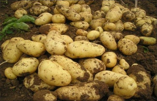 马铃薯 中后期 管理要点