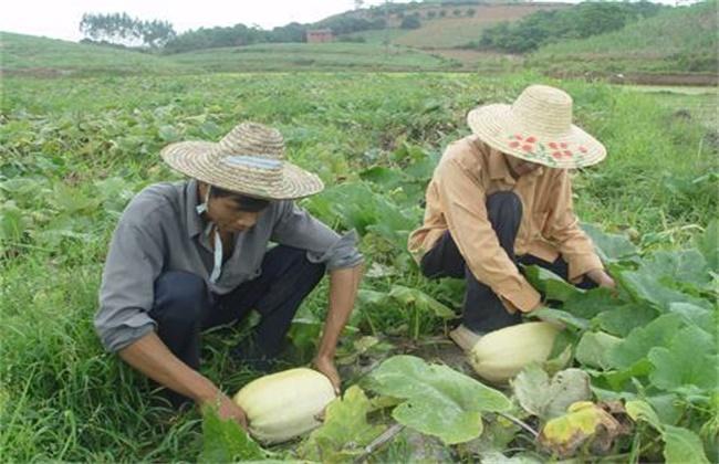 金丝瓜的田间管理技术