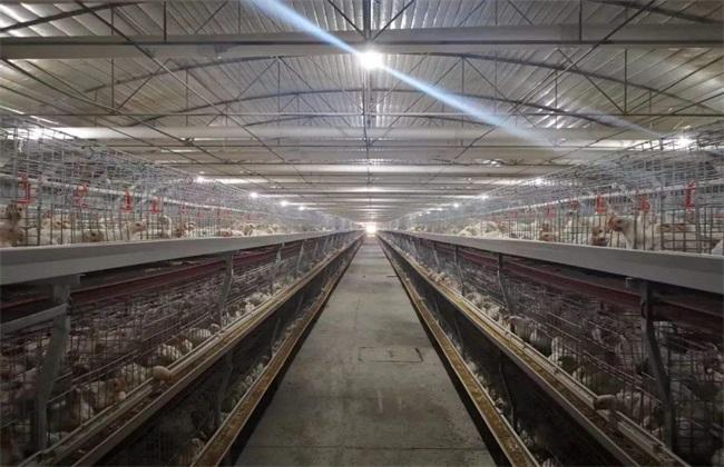 白羽肉鸡 笼养技术