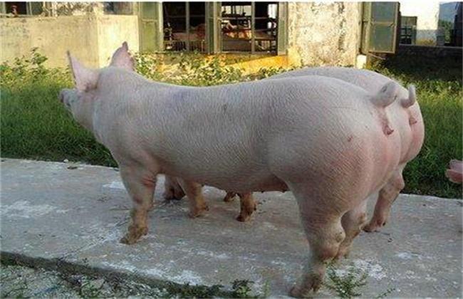 三元母猪如何留种