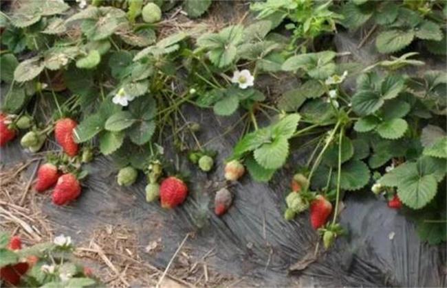 草莓病毒病的防治措施